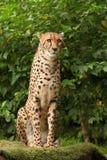 Posa del ghepardo Fotografie Stock