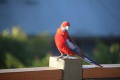 Posa del pappagallo 2 Immagini Stock