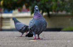 Posa del piccione selvatico come un re Fotografia Stock Libera da Diritti