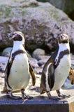Posa del pinguino di Humboldt Fotografia Stock