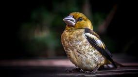 Posa del ritratto dell'uccello canoro Immagini Stock