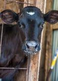 Posa del vitello Immagini Stock Libere da Diritti