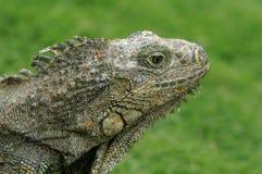 Posa dell'iguana Fotografia Stock Libera da Diritti