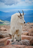Posa della capra di montagna Fotografia Stock Libera da Diritti