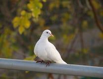Posa della colomba Fotografia Stock