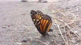 Posa della farfalla Immagine Stock