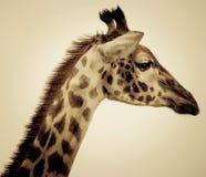 Posa della giraffa Fotografie Stock Libere da Diritti