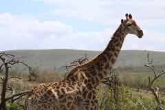 Posa della giraffa Immagine Stock