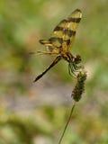 Posa della libellula dello stendardo di Halloween Fotografia Stock Libera da Diritti