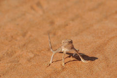 Posa della lucertola del deserto Fotografie Stock