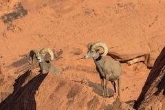 Posa delle ram delle pecore Bighorn del deserto Immagine Stock