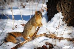 Posa dello scoiattolo che sta all'attenzione Immagini Stock
