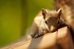 Posa dello scoiattolo del bambino Immagine Stock Libera da Diritti