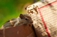 Posa dello scoiattolo del bambino Fotografie Stock Libere da Diritti
