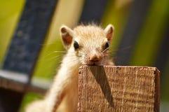 Posa dello scoiattolo del bambino Immagini Stock