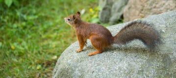 Posa dello scoiattolo rosso (Sciurus vulgaris) Fotografie Stock