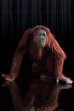 Posa dello studio dell'orangutan Immagine Stock
