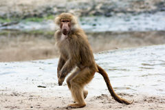Posa femminile del babbuino Fotografie Stock