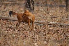 Posa indiana del cane selvaggio nell'habitat della natura in India Immagine Stock