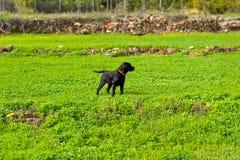 Posa nera di labrador retriever Fotografie Stock