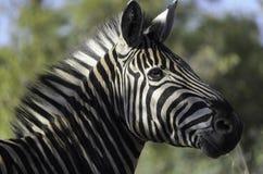 Posa notevole di una zebra Fotografia Stock Libera da Diritti