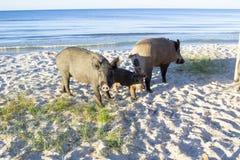 Posa selvaggia della famiglia dei maiali sulle sabbie della costa di mare Immagini Stock