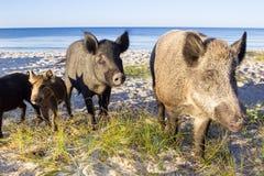 Posa selvaggia della famiglia dei maiali sulle sabbie costiere del mare Fotografia Stock Libera da Diritti