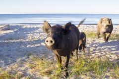 Posa selvaggia della famiglia dei maiali sulle sabbie della spiaggia del mare Immagini Stock