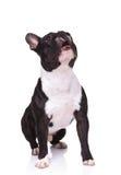 Posadzony ciekawy francuskiego buldoga szczeniaka psa przyglądający up obraz royalty free