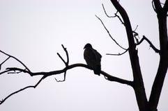Posatoio dell'avvoltoio Immagine Stock