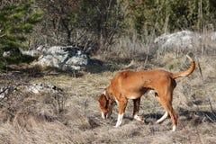 The Posavac hound Royalty Free Stock Photos