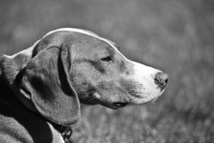 Posavac Hound. A sideways view of a Posavac hounds head - a dog from the Balkan states in Europe Stock Photo