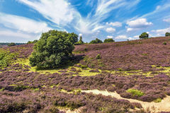 Posbank Dutch national park. Field of purple color heater plants covering the Postbank hills in Gelderland central region of Netherlands Royalty Free Stock Photography