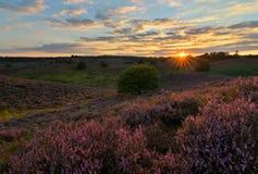 Posbank heather, Hoge Vuluwe Royalty Free Stock Photo