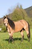 Pose américaine d'étalon de cheval quart Photo libre de droits