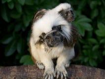 pose au dessus du coton de singes de Tamarin Photographie stock