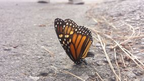 Pose da borboleta Imagem de Stock