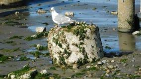 Pose da gaivota Imagens de Stock Royalty Free