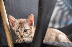 Pose de chaton sur la chaise Photographie stock libre de droits