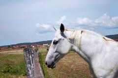 Pose de cheval blanc Images libres de droits