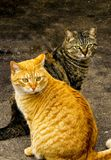 Pose de deux Tabby Cats Male And Female image libre de droits