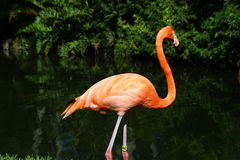 Pose de flamant Photographie stock