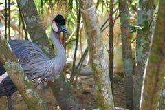 Pose de grue couronnée beau et gracieux par oiseau Photographie stock libre de droits