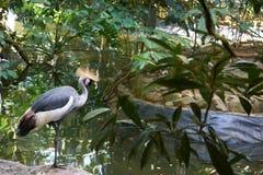Pose de grue couronnée beau et gracieux par oiseau Photos stock