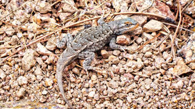 Pose de l'iguane sur le plancher rocheux Photo libre de droits