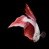 Pose de peixes de combate, peixes de combate Imagem de Stock Royalty Free