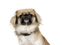 Pose de Pekingese Photographie stock