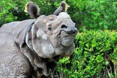 Pose de rhinocéros photo stock