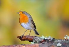 Pose de Robin Photographie stock libre de droits