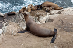 Pose de Sealioness image stock